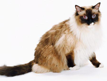 Анализ ДНК на длину шерсти кошки