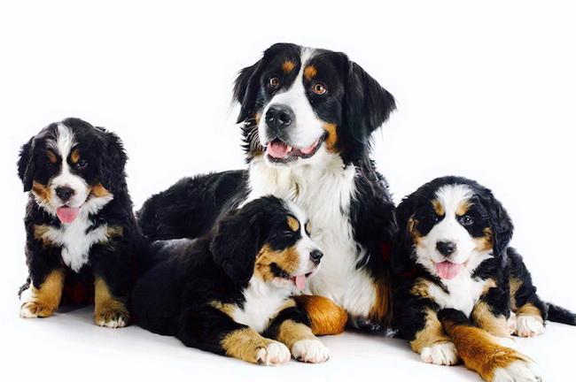 Родство у собак