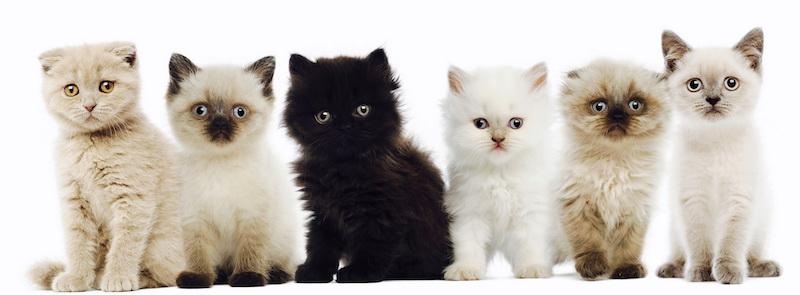 Комплексы на окрасы у кошек