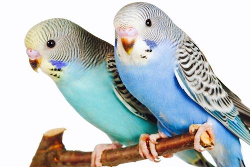 Определение пола птиц