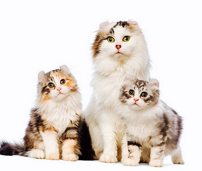 Родство у кошек анализ днк