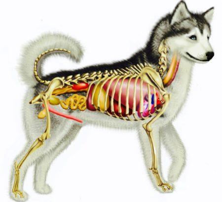 Наследственные заболевания у собак