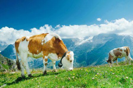 Родство у крупного рогатого скота
